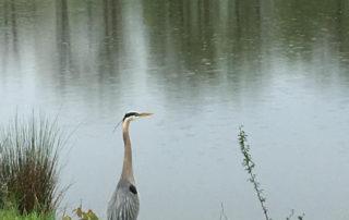 A blue heron standing near a lake.