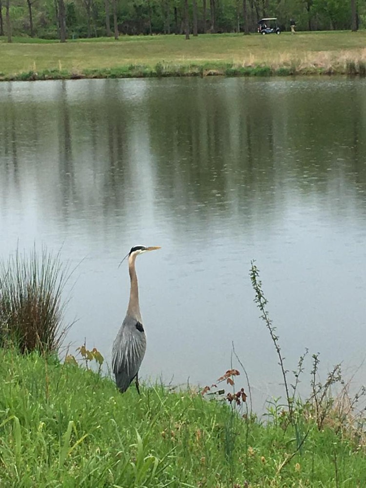 A blue heron standing near a lake.
